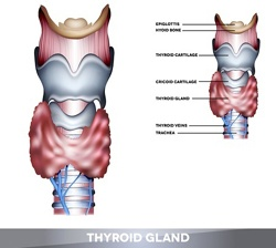 thyroidgland250_0